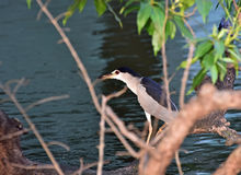 Black crowned night heron Stock Photography