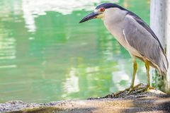Black Crowned Night Heron by the river. Black Crowned Night Heron standing by a river in St. Ann, Jamaica stock photo