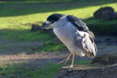 Black Crowned Night Heron standing on a rock royalty free stock photos