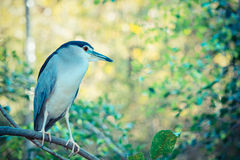 Black-crowned Night-Heron. Standing on a tree Stock Images