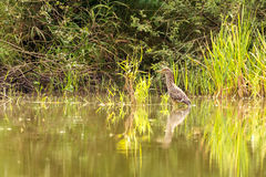 Black-crowned night heron stands on shallow of pond Stock Photo