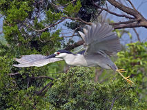 Black-crowned Night Heron with Stick Stock Photos