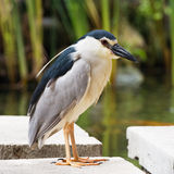 Black-crowned night heron on a stone stock photos