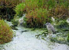 Black crowned night heron in the swamp Stock Image