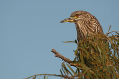 Black-Crowned Night Heron In Tall Perch. A Black Crowned Night Heron, a nocturnal bird, perched in a tree top in southern California Stock Photo