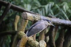 Black crowned Night Heron Royalty Free Stock Photo