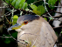 Black Crowned Night Heron. This black crowned night heron thought he was hiding in Big Cypress National Preserve Royalty Free Stock Photography