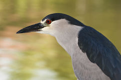 Black Crowned Night Heron. Royalty Free Stock Image