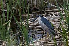 Black crowned Night Heron in Utah marsh. Solitary black crowned night heron stands on marsh reeds in Farmington Bay Waterfowl Management Area, part of Great Salt Stock Image