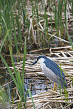 Black Crowned Night Heron in Utah in vertical format. Vertical photograph of solitary black crowned night heron in marsh reeds at Farmington Bay Waterfowl Royalty Free Stock Images