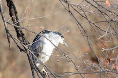 Black- crowned night heron Stock Image