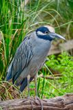 Black Crowned Night Heron Watching royalty free stock images