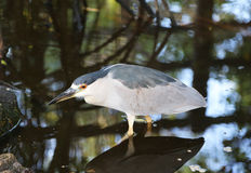 Black crowned night heron in water Royalty Free Stock Photography