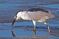 Black-crowned Night Heron With Worm. Black-crowned Night Heron eating a worm Stock Photography