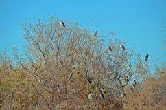 Black Crowned Night Herons (Nycticorax nycticorax) Royalty Free Stock Photo