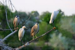 Black Crowned Night Herons and Snowy Egrets. Standing on branches together at a Colorado rookery Stock Photography