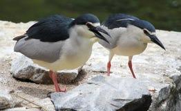 Black-crowned night herons Stock Images