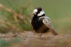 Black-crowned Sparrow-Lark - Eremopterix nigriceps in the desert of Boa Vista. Looking for food royalty free stock photo