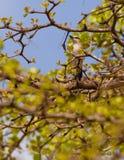 Black-crowned Tchagra Royalty Free Stock Image