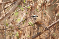 Black-crowned Tchagra Royalty Free Stock Photo