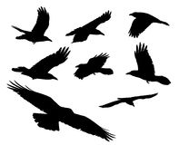 Black crows. Original photographs of black crows flying above royalty free stock photo