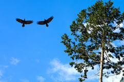 Black crows against blue sky Stock Images