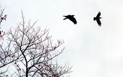 Black crows against cloudy sky Stock Image