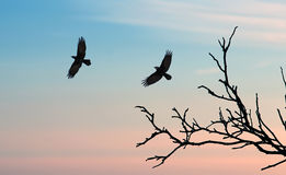 Black crows against sunset sky Royalty Free Stock Photography