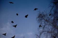 Black crows in the blue sky royalty free stock photography