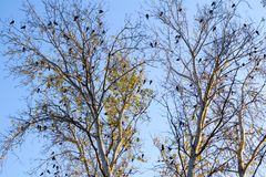 Black crows on the branches of white poplars Stock Photo