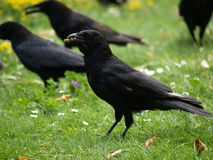 Black crows in park. Some black crows on the grass stock photo