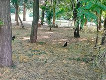 Black crows in the park royalty free stock photos