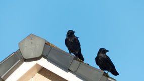 Black Crows Royalty Free Stock Images