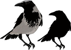 Black Crows. Seated black raven image detail and silhouette isolated on white background Royalty Free Stock Photo