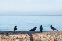 Black crows standing on the stone fence search of food on a blurred background of the sea.  Royalty Free Stock Photography