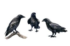 Free Black Crows Watercolor Sketch Royalty Free Stock Photography - 106051267