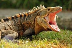 Black Ctenosaur Stock Image