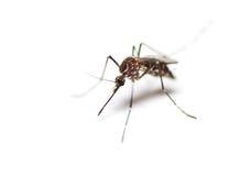 Black culex mosquito Stock Photos