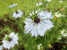 Black cumin / Nigella sativa flowers Royalty Free Stock Photos