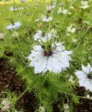 Black cumin / Nigella sativa flowers Royalty Free Stock Image