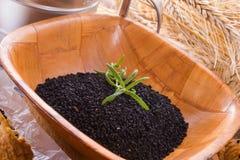Black cumin (Nigella sativa) Royalty Free Stock Images