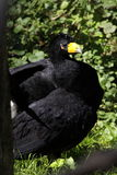 Black curassow Stock Photography