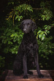 Black curly coated retriever dog Royalty Free Stock Photos