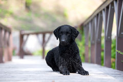 Black curly coated retriever dog Royalty Free Stock Photography