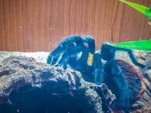 Black curly-hair tarantula (Brachypelma albopilosum), Birdeater Royalty Free Stock Photography