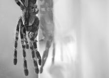 Black curly-hair tarantula Brachypelma albopilosum black and white Stock Images