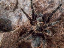 Black curly hair tarantula Stock Images