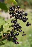 Black Currant Stock Photos
