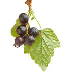Black currant Stock Images