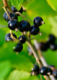 Black currant 2. Branch of a ripe black currant. A photo about useful desserts with vitamins Royalty Free Stock Photos